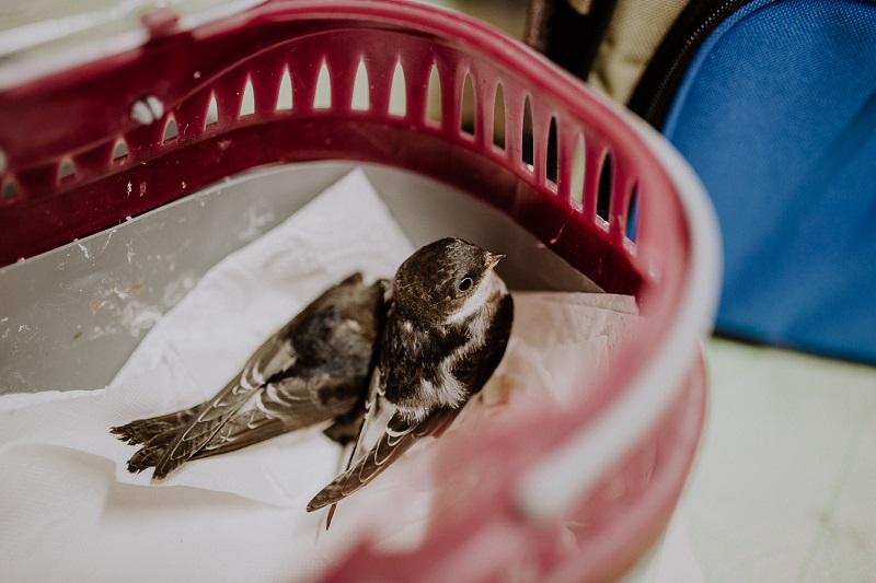 Mauersegler Wildvogelhilfe Leipzig - Wild Bird Rescue Leipzig (5) small